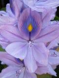 Waterhyacint Royalty-vrije Stock Afbeeldingen