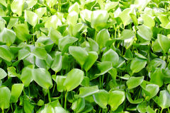 Waterhyacint Stock Foto