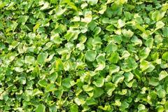Waterhyacint in de rivier van tropische landen royalty-vrije stock foto