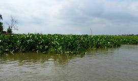 Waterhyacinten in de Mekong rivierdelta Stock Foto