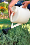 Watering. Female hands holding watering can and watering lavender in the garden.Shallow DOF Royalty Free Stock Images