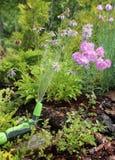 Watering Alpine slides. Garden watering Alpine slides with pink carnations in the garden stock images