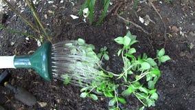Watering Basil Seedlings stock footage