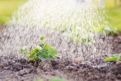 Watering blooming strawberry seedling planted in the ground. Sunny spring. Stock Photos