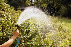Watering blueberry shrubs with a watering gun. A stream of water stock photos