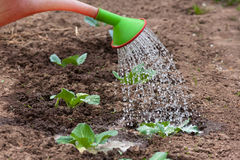 Watering the cabbage in the garden Royalty Free Stock Image