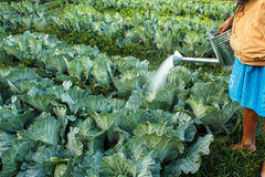 Watering cabbage Stock Images