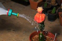 Watering cactus stock photos