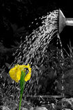 Watering can. Yellow iris watered with can. Photograph is partially colored Stock Photography