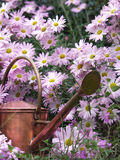 Watering Can and Chrysanthemums Royalty Free Stock Image