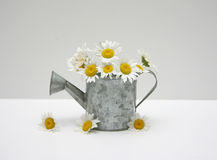Watering can of daisies royalty free stock photos