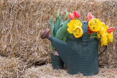Watering can with flowers. An old watering can holds a garden decor still life of vibrant spring flowers stock image