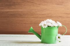Watering can full of daisies royalty free stock photography