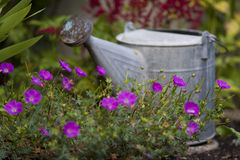 Watering can in garden. A metal watering can resting among violet flowers in a garden Stock Image
