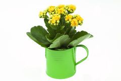 Watering can with geese and blossom. Green watering can with geese and blossom Stock Image