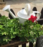 Watering can and Geraniums Royalty Free Stock Photos