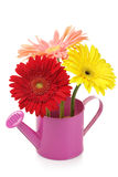 Watering can with gerberas Royalty Free Stock Image