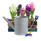 Watering can with hyacinth flowers Stock Image
