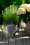 Watering can next to hydrangea Stock Image