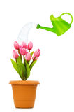 Watering can and pot of tulips Stock Images