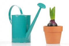 Watering can and pot of Young hyacinth Royalty Free Stock Photography
