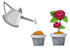 Watering can with rose cute in pot Royalty Free Stock Photography