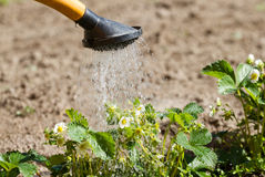 Watering can of strawberry Royalty Free Stock Images