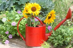 Watering can with sunflower Stock Photos