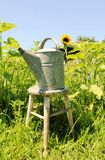 Watering can in a sunflowers field Stock Image