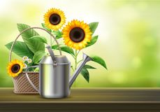 Watering can and sunflowers. Vector illustration of watering can and wicker basket with sunflowers and camomile Royalty Free Stock Photos