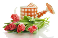 Watering can with tulips. Isolated on white background stock photography