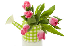 Watering can with tulips. Isolated on white background royalty free stock image