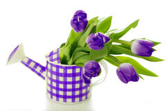 Watering can with tulips. Isolated on white background royalty free stock images