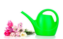 Watering can with tulips isolated Royalty Free Stock Photography