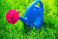 watering can for watering flowers and a red rose in it, on the selenium grass. stock photography