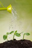 Watering can watering young plants. In pile of soil Royalty Free Stock Photo