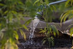 Watering cannabis in the evening royalty free stock image