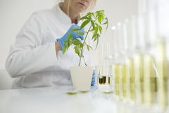 Watering cannabis plants in the laboratory with precise dropper. Female scientist in a laboratory watering a marijuana plant. She is waring blue glows and using stock photos