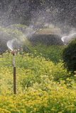 Watering canola flower field Royalty Free Stock Image