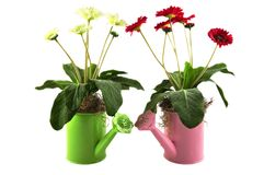 Watering cans. Two watering cans with some flowers isolated on white background Royalty Free Stock Image
