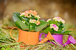 Watering cans with colorful flowers Royalty Free Stock Image