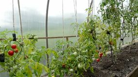 Watering cans stand on a garden with tomatoes. Two watering cans stand on a garden with tomatoes stock video footage