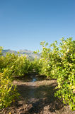 Watering a citrus plantation Royalty Free Stock Image