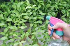 Watering a climber plant. With a plastic transparent foggy in a selective focus Stock Photography