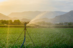 Watering corn field in agricultural garden by water springe Royalty Free Stock Image