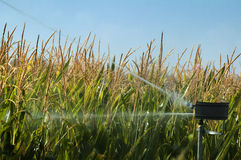 Watering the corn plantation Stock Photo