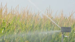 Watering the corn plantation. Irrigation close up stock video footage