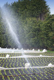 Watering crops. With Irrigation system using sprinklers on a field Royalty Free Stock Images
