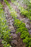 Watering of cultivated fertile land. In morning royalty free stock photo