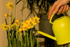 Watering daffodils easter. Watering easter daffodils lily with a can Stock Photo